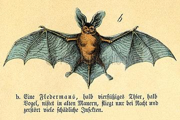 Fledermaus  Illustration und Beschreibung  1871