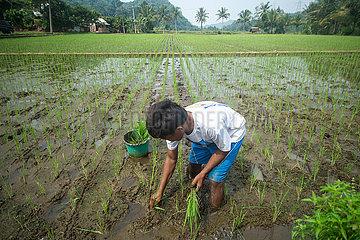 INDONESIEN-WEST JAVA-Landwirtschaft
