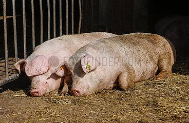 Bioschweine liegen auf Stroh im offenen Schweinestall  Bioland Bauernhof  Willich Nordrhein-Westfalen  Deutschland