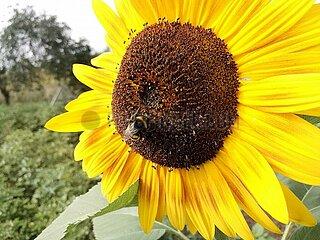 Hummel bestaeubt Sonnenblume