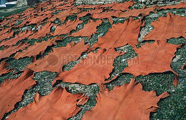 Fes  Marokko  Gegerbte Tierhaeute liegen zum Trocknen auf einer Wiese im Freien