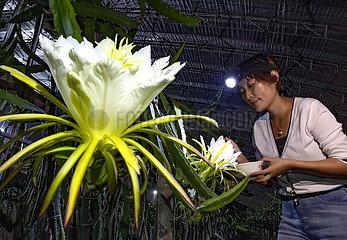 CHINA-HEBEI-TANGSHAN-DRAGON FRUIT Bestäubung (CN)