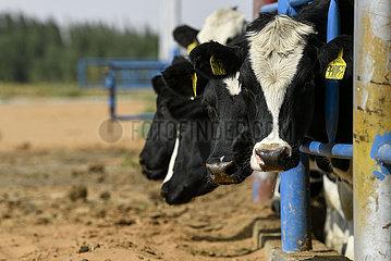 CHINA-NINGXIA-Zhongwei-DESERTIFIKATION-COW BREEDING (CN)