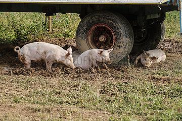 Freilandschweine  Bioland Bauernhof  Kamp-Lintfort  Nordrhein-Westfalen  Deutschland