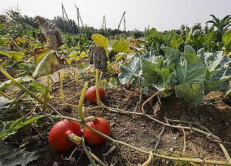 Bio Selbsternte Mietgaerten  Bioland Bauernhof  Kamp-Lintfort  Nordrhein-Westfalen  Deutschland
