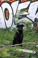 Berlin  Deutschland  Riesenschnauzer sitzt auf einem brachliegenden Grundstueck vor einer mit Grafitti bespruehten Wand