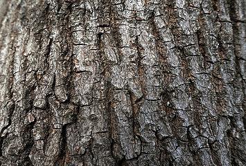 Berlin  Deutschland  Rinde eines Ahornbaumes