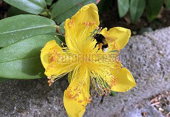 Berlin  Deutschland  Dunkle Erdhummel sammelt Pollen aus einer Bluete des Grossblumigen Johanniskrauts