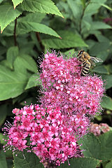 Berlin  Deutschland  Honigbiene sammelt Nektar aus Blueten der Kolben-Spiere