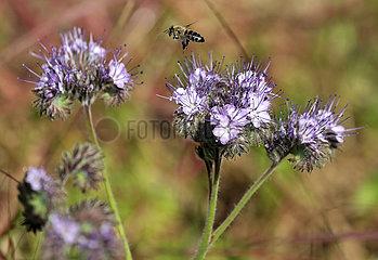 Neuenhagen  Deutschland  Honigbiene im Anflug auf eine Bluete der Rainfarn-Phazelie