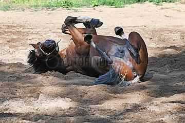 Hoppegarten  Pferd waelzt sich im Sand