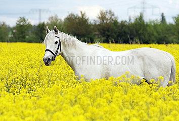 Altlandsberg  Pferd steht aufmerkam in einem Rapsfeld