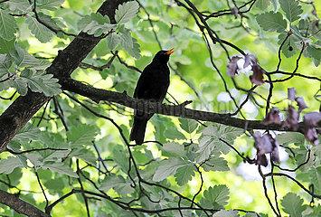 Berlin  Deutschland  Amsel sitzt singend auf dem Ast eines Baumes
