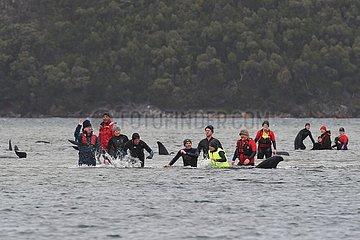 AUSTRALIEN-SYDNEY-stranded WAL-RESCUE