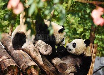 CHINA-SHAANXI-Zhouzhi-PANDA (CN)
