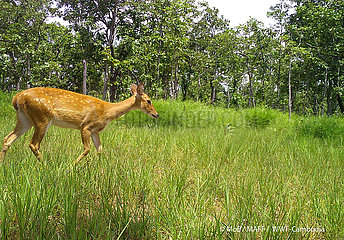 KAMBODSCHA-Kratie-WWF-Rotwild