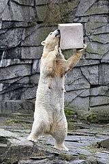 Berlin  Deutschland  Eisbaerin Tonja spielt mit einer Wildlifetoybox