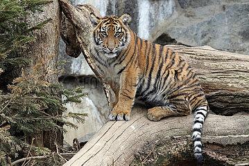 Berlin  Deutschland  Sibirischer Tiger