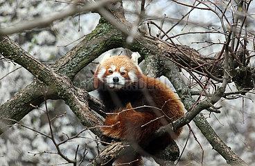 Berlin  Deutschland  Kleiner Panda
