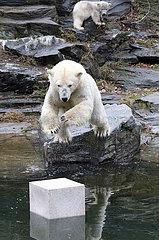 Berlin  Deutschland  Eisbaerin Tonja springt vor den Augen ihrer Tochter Hertha auf eine Wildlifetoybox