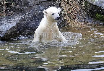 Berlin  Deutschland  Eisbaerin Hertha planscht im Wasser