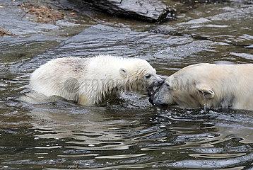 Berlin  Deutschland  Eisbaerin Hertha planscht mit Mutter Tonja im Wasser
