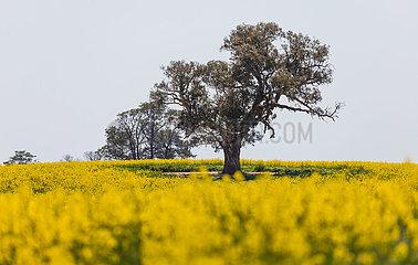 AUSTRALIA-CANBERRA-Canola Gebiet