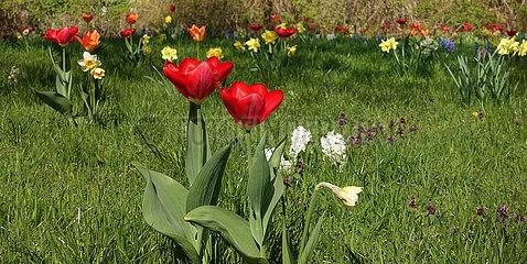 Berlin  Deutschland  Tulpen  Narzissen und Hyazinthen wachsen auf einer Wiese