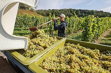Weinlese im Weinberg  Koenigswinter  Nordrhein-Westfalen  Deutschland  Europa