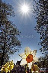 Berlin  Deutschland  Narzissen bluehen unter strahlendem Sonnenlicht