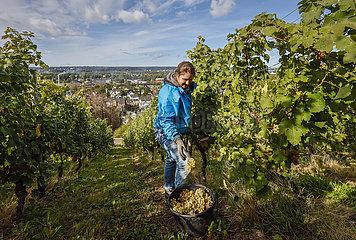 Studentin arbeitet als Erntehelferin bei der Weinlese im Weinberg  Koenigswinter  Nordrhein-Westfalen  Deutschland  Europa