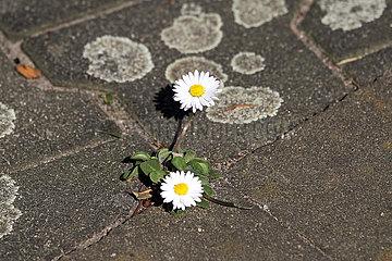 Hoppegarten  Deutschland  Gaensebluemchen wachsen in einer Fuge zwischen Steinen auf der Strasse