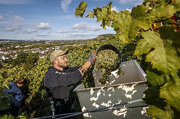 Erntehelfer bei der Kerner Weinlese im Weinberg  Koenigswinter  Nordrhein-Westfalen  Deutschland  Europa