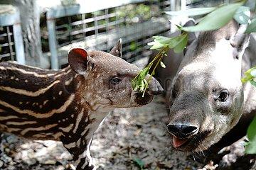 CHINA-SHANGHAI-ZOO-Südamerikanischer Tapir (CN)