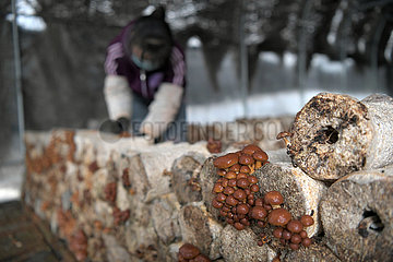 CHINA-HEILONGJIANG-Pilz-Armutsbekaempfung (CN)