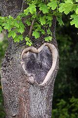 Hannover  Deutschland  herzfoermige Wunde in der Rinde eines Ahornbaumes