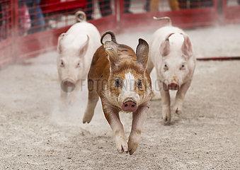 US-ILLINOIS--Lincolnshire-Pumpkin-PIG RACE US-ILLINOIS--Lincolnshire-Pumpkin-PIG RACE