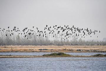CHINA-JILIN-NATURE RESERVE-Zugvögeln (CN)