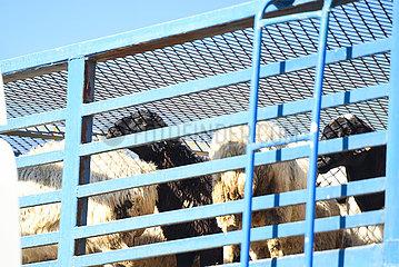 CHINA-INNER MONGOLIA-MONGOLIA-DONATION-SHEEP (CN)
