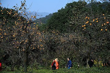 CHINA-ZHEJIANG-MEILI Dorf TOURISM-PERSIMMON (CN)