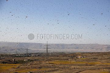 JEMEN-Amran-LOCUSTS
