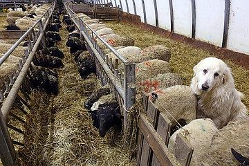 Neu Kaetwin  Deutschland  Pyrenaeenberghund in einem Schafstall