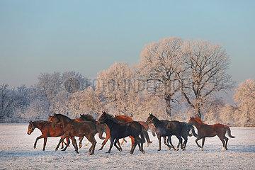 Gestuet Graditz  Pferde im Winter am Morgen in Bewegung auf der Koppel