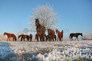 Gestuet Graditz  Pferde im Winter am Morgen auf der Koppel