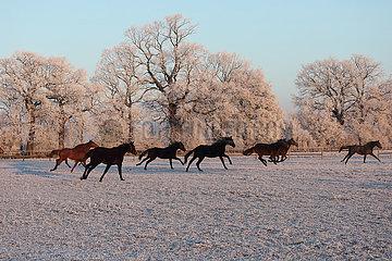 Gestuet Graditz  Pferde im Winter am Morgen im Galopp auf der Koppel