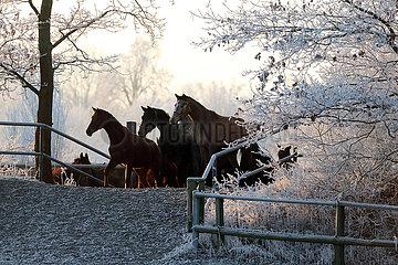 Gestuet Graditz  Pferde gehen im Winter ueber den Deich auf die Koppel