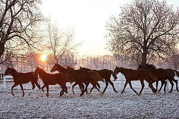 Gestuet Graditz  Pferde im Winter bei Sonnenaufgang im Trab auf der Koppel