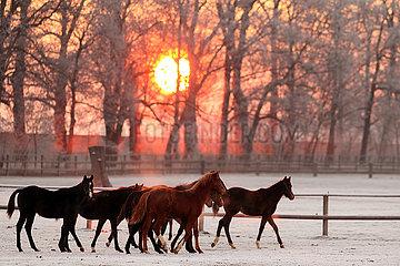 Gestuet Graditz  Pferde im Winter bei Sonnenaufgang in Bewegung auf der Koppel