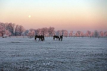 Gestuet Graditz  Pferde im Winter bei Vollmond auf der Koppel