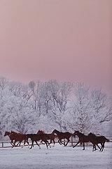 Gestuet Graditz  Pferde im Winter bei Daemmerung im Galopp auf der Koppel